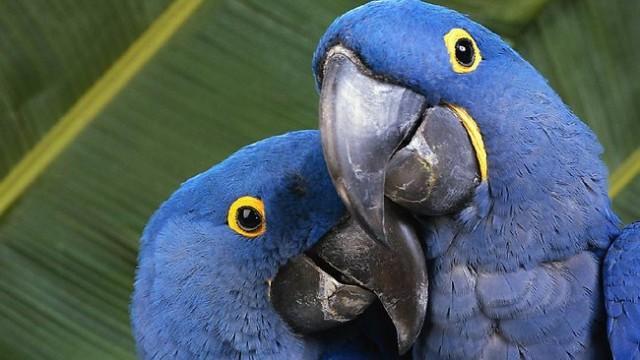 Образец верности - гиацинтовый ара