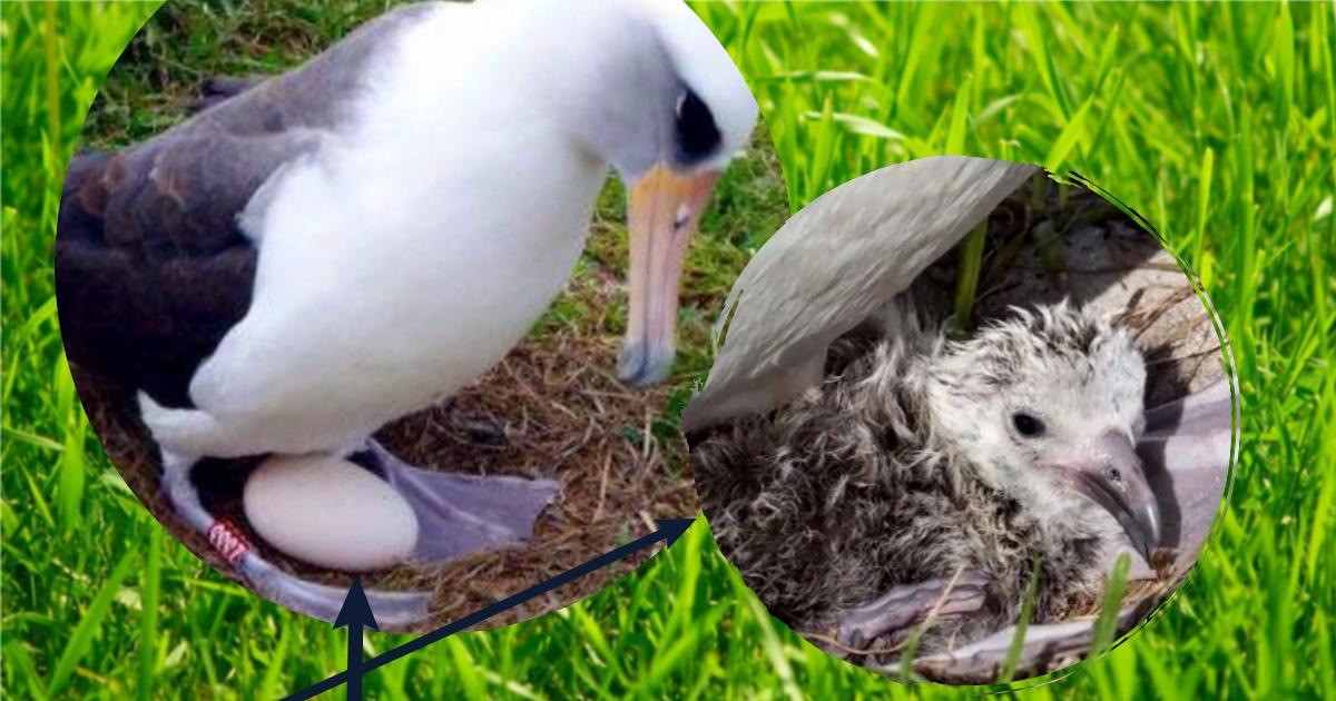 67 лет – ровно столько исполнилось этой птице! Сейчас крылатая бабуля высидела яйцо и воспитывает горластого младенца
