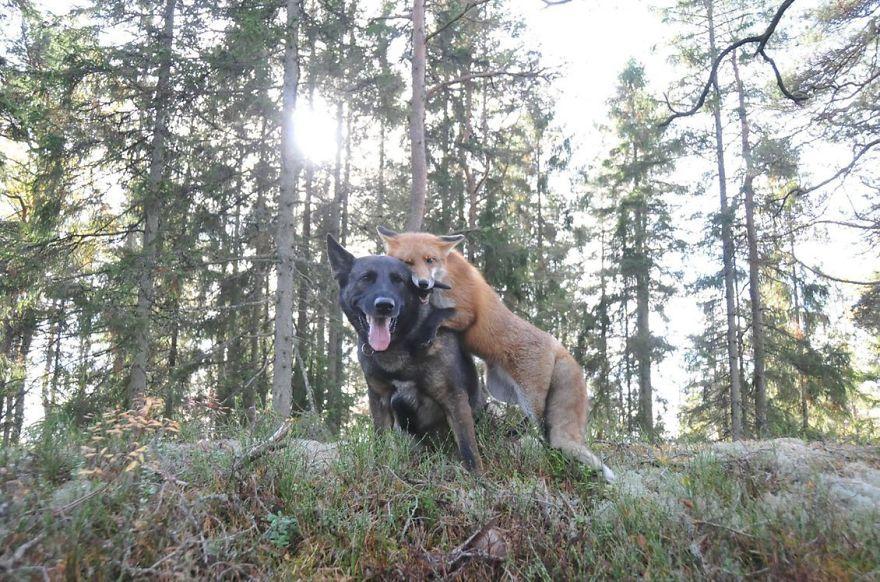 50 случаев удивительной дружбы животных (70 фото)