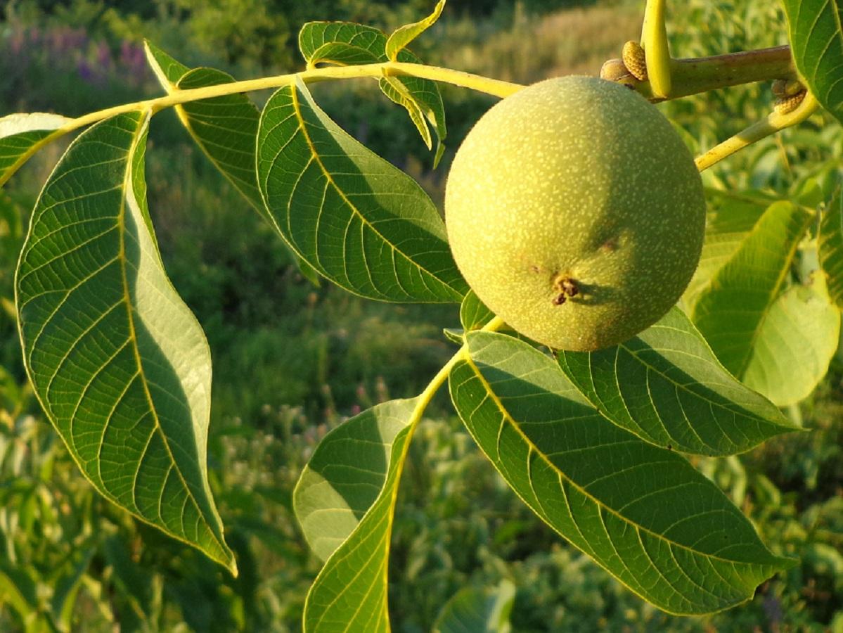 Как использовать листья грецкого ореха в лечебных целях
