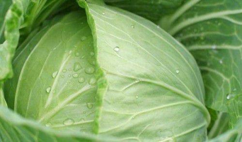 Какие сорта капусты лучше подходят для квашения