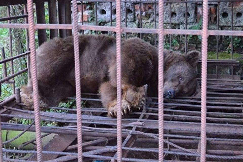 В Ессентуках медведица три года прожила в клетке, питаясь отходами