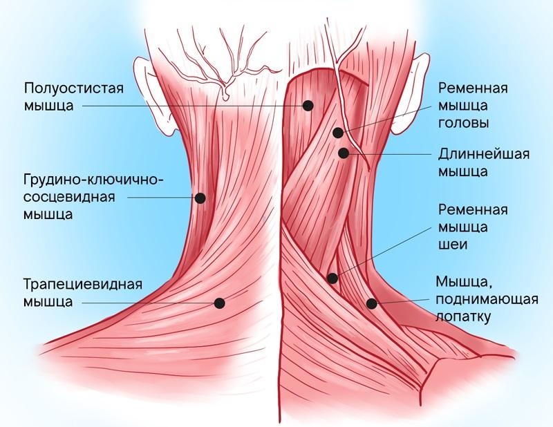 болят мышцы шеи и плеч