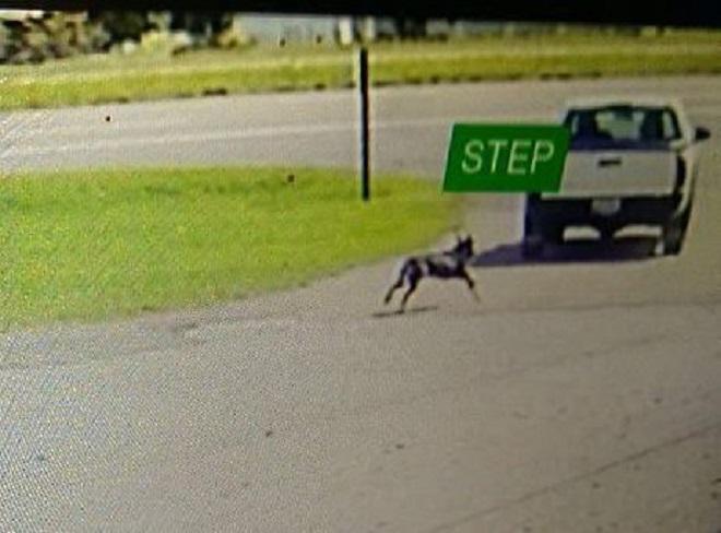 Мужчина оставил собаку прямо под приютом, а она отчаянно бросилась догонять его, рискуя жизнью