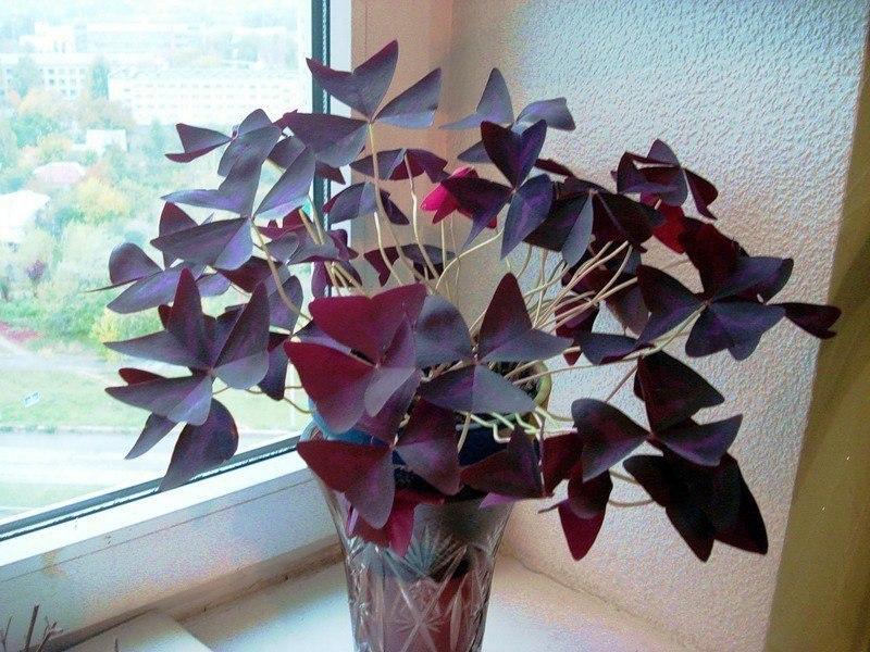 цветы и растения     🌿Кислый оксалис
