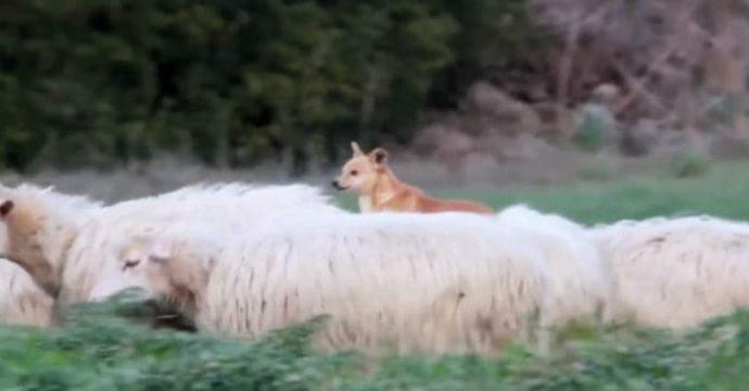 """Пастушью собаку застукали за """"работой""""! Её родео на овцах довело хозяев до коликов в животе"""