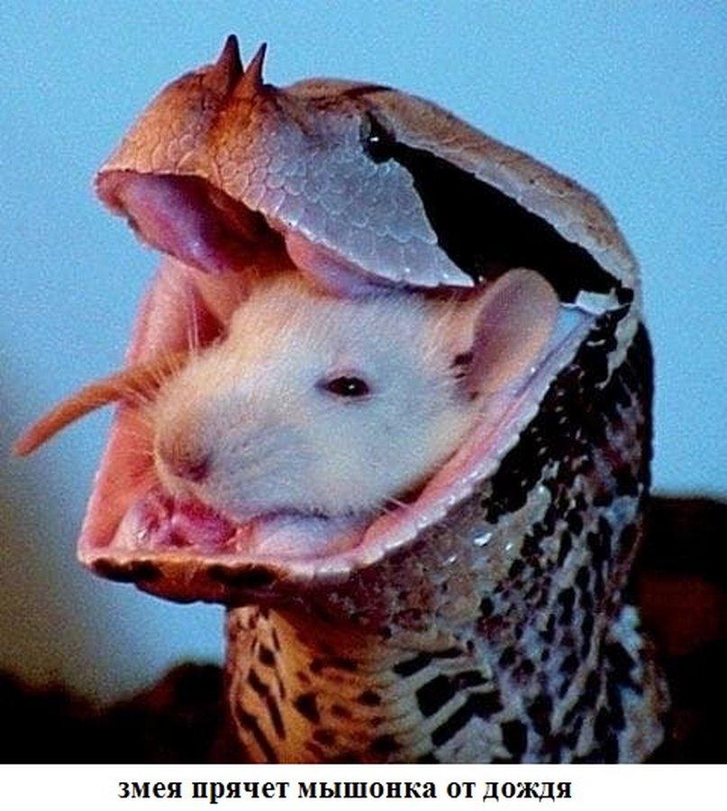 обойти смешные картинки змея и крыса парнями