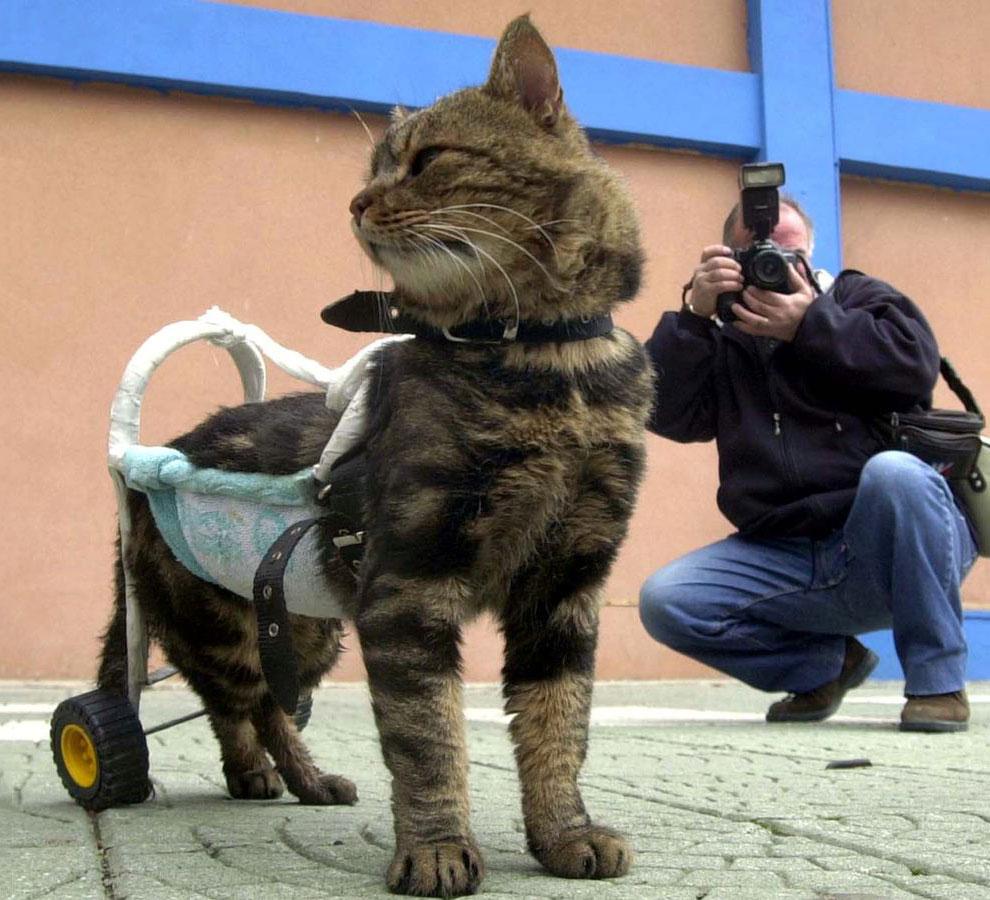 Турецкая кошка Сиси