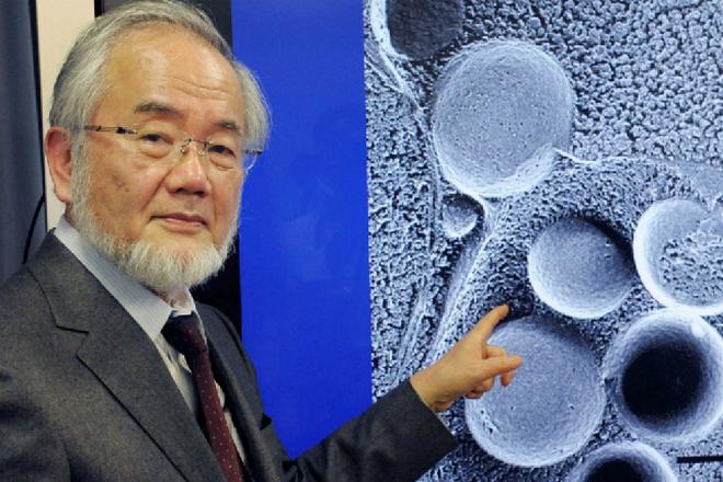 Однодневный голод: открытие получившее Нобелевскую премию аутофагия,биология,наука,Пространство,Япония