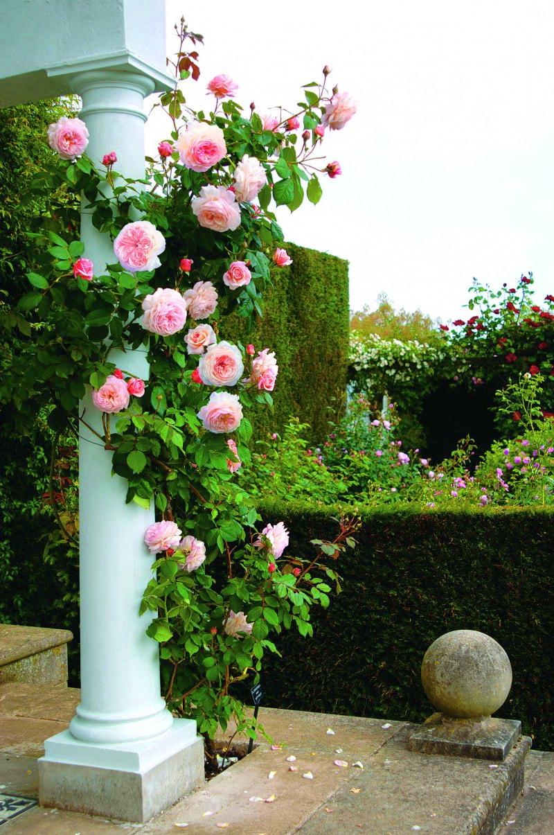 плетущиеся розы в саду фото знаменита