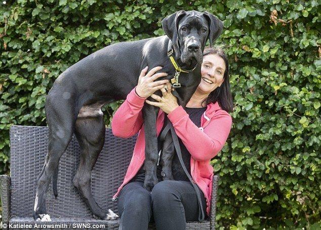 И теперь просто души не чают в своем питомце adopted, немецкий дог, питомец, рекорды, самый большой, самый крупный, собака, собака - друг человека