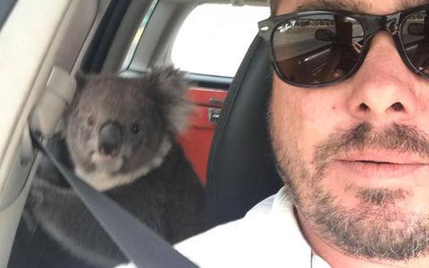 Милота: очень вежливый водитель уговаривает коалу
