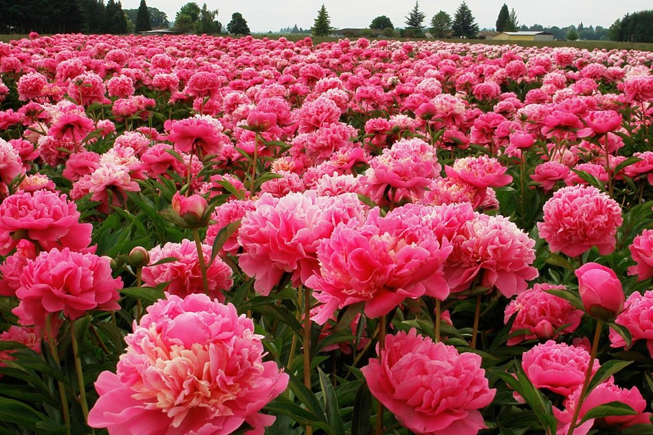 Как продлить период цветения пионов?