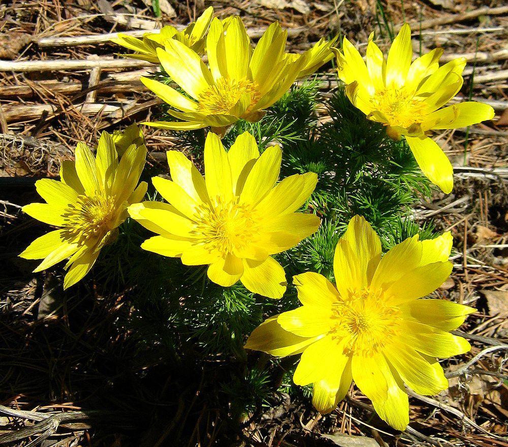Адонис весенний – солнышко в цветнике