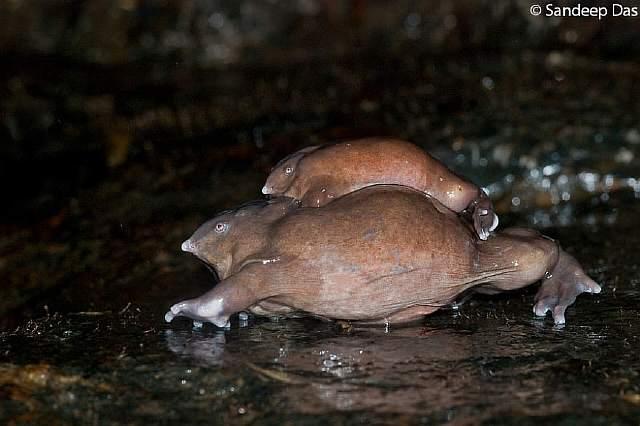 Nasikabatrachus-sahyadrensis_Purple-Frog__880