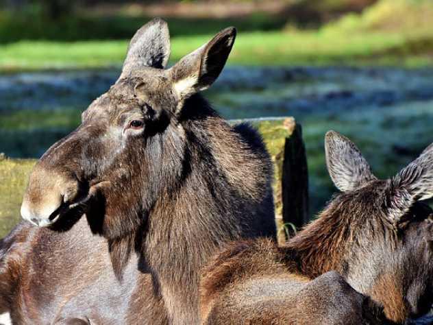 В челябинском Национальном парке появилась «лосиха-экскурсовод»