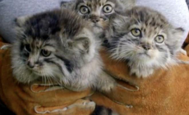 Фермер взял 4 котят из сарая: через год оказалось, что они манулы Культура