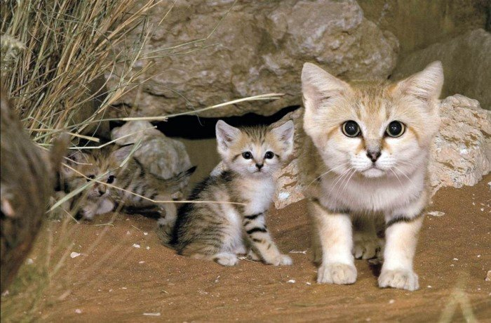 Самые маленькие кошки кошки