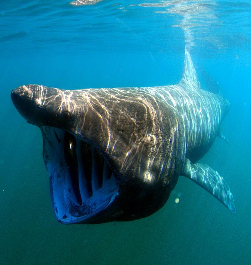 Basking shark. Photo by Greg Skomal  NOAA Fisheries Service