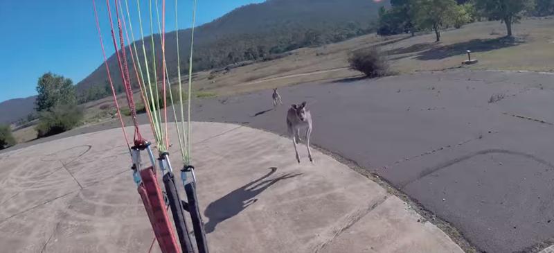 Парапланерист приземлился на площадку, охраняемую кенгуру, и пожалел об этом решении австралия, видео, животные, кенгуру, нападение, параплан