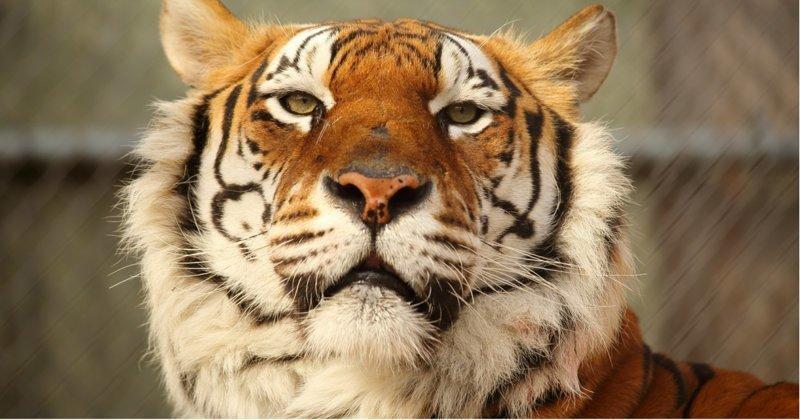 Как урчит довольный тигр