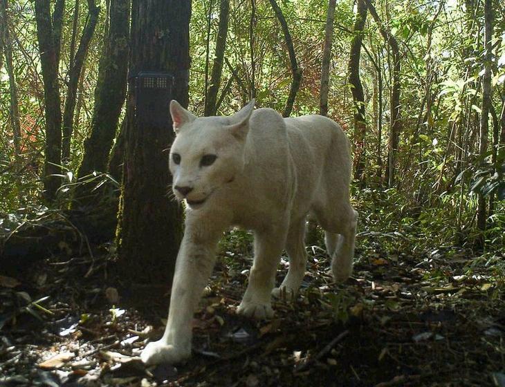 Первая в мире белая пума с лейкизмом