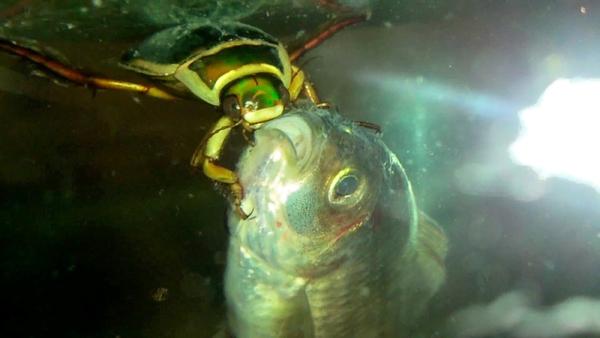 Жук плавунец: Самый страшный обитатель русских озер