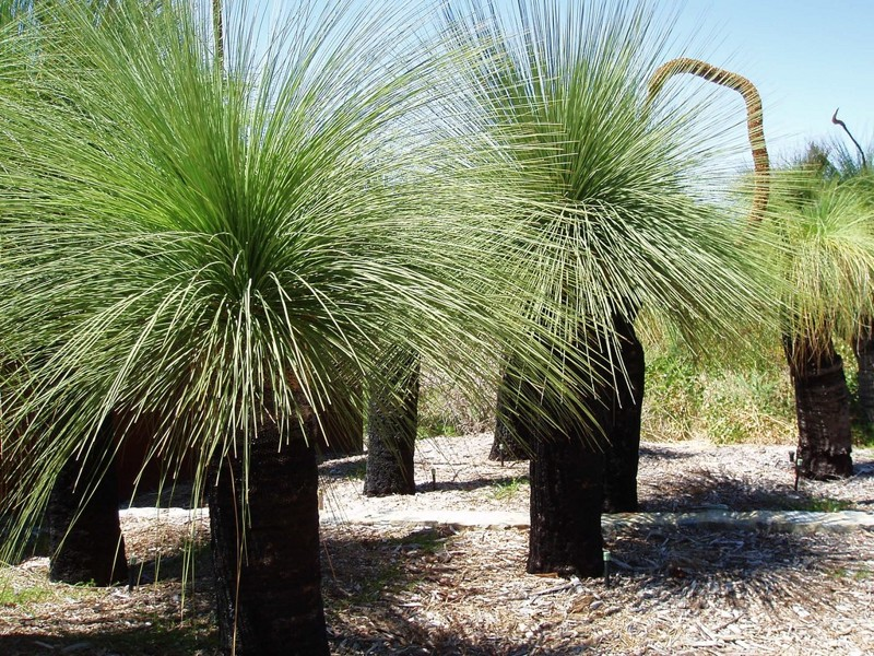 Xanthorrhea (árvore-grama) árvores, incrível, natureza, incrível, flora