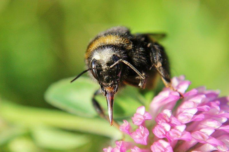 Парадокс шмеля насекомое, природа, россия, фауна, фото, шмели, шмель