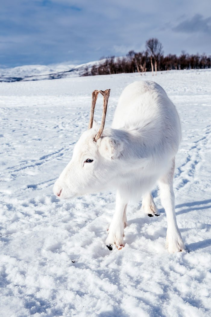 Белый оленёнок который сливается со снегом, редкие снимки