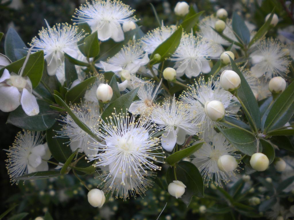 цветок мирта фото