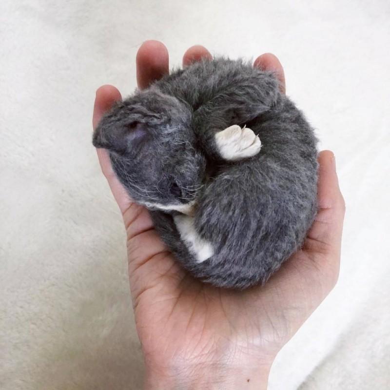Женщина выходила котенка, похожего на плюшевую игрушку