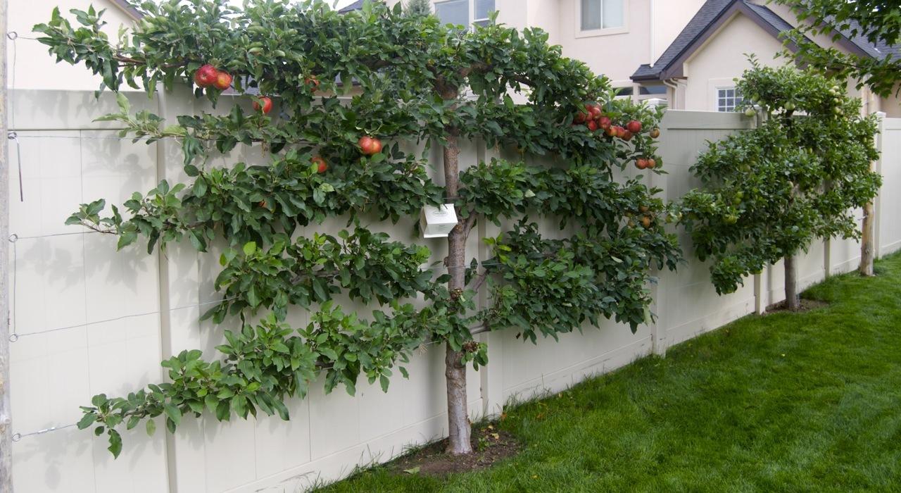 Как сделать яблоню плоской