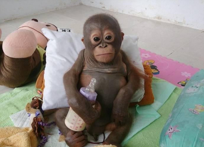 Британские защитники животных спасают заморенного в неволе детеныша орангатуна