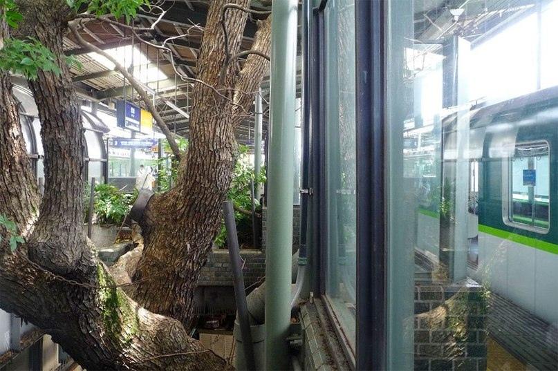 Эта японская ж/д станция построена вокруг старинного дерева жд станция