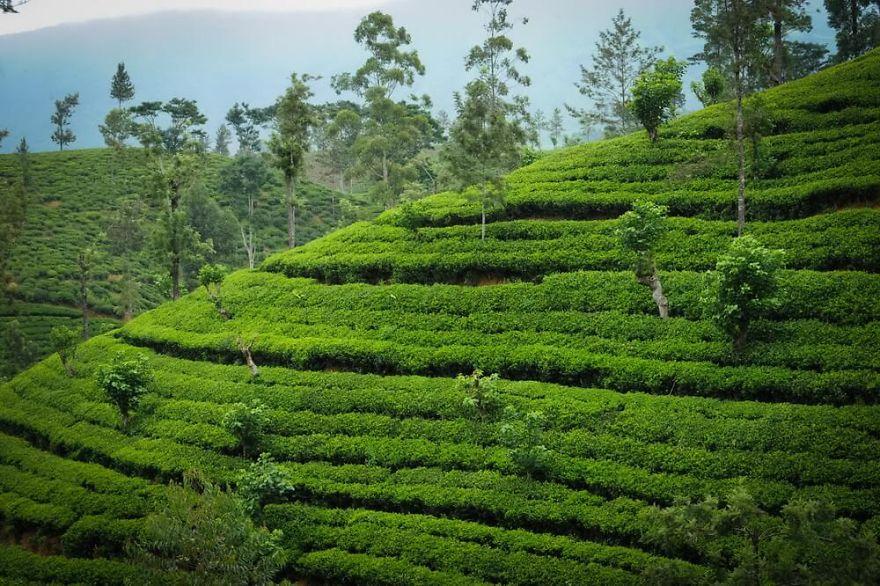 посещение настоящих чайных плантаций фото сидячие зонтики розеткой