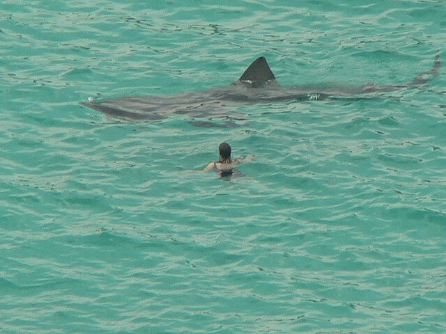 Девушка плавает рядом с гигантской акулой (cc by Candiche, www.flickr.com)