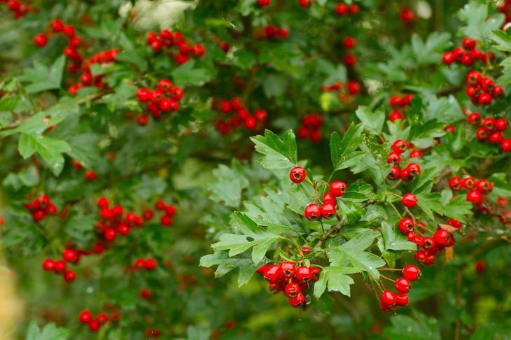 Боярышник однопестичный осенью во время плодоношения