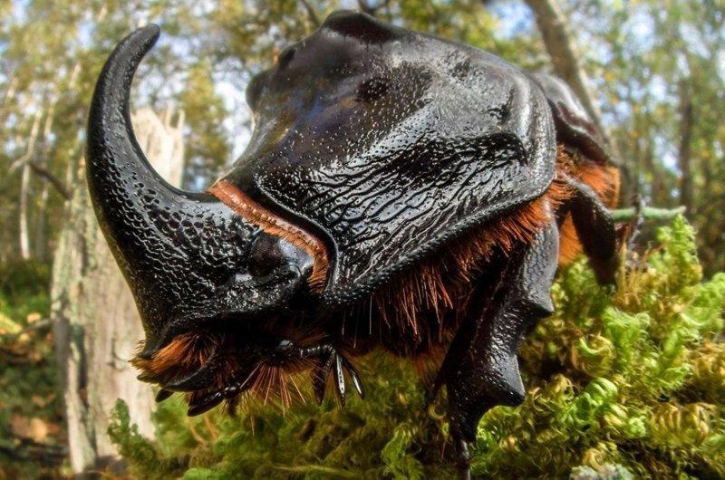 7. Жук-носорог выглядит как настоящая рок-звезда в мире, животные, красота, природа, удивительно, фото