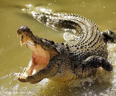Крокодилы: страшные и опасные