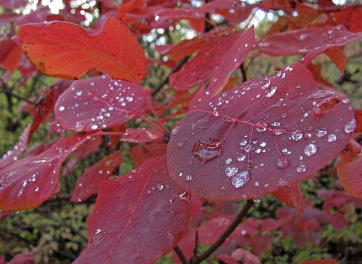 Листья скумпии осенью приобретают более насыщенную окраску, а ее соцветия постепенно отмирают