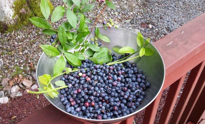 Голубика высокорослая: выбор почвы, правильная посадка и уход садоводство