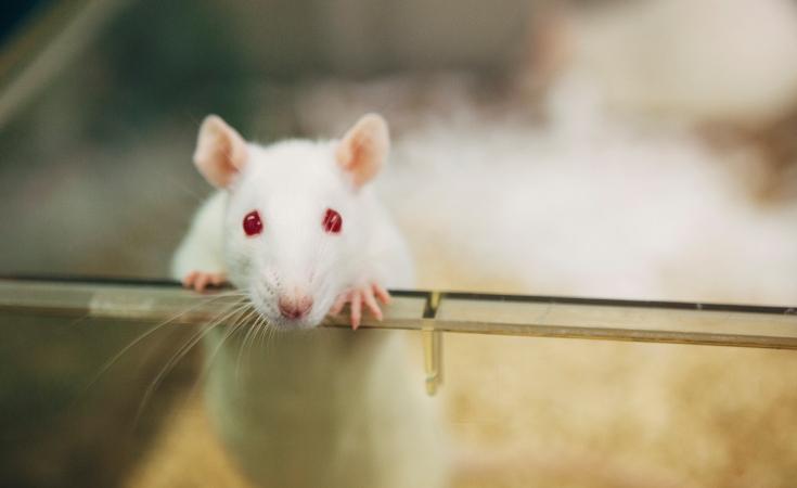 Стволовые клетки восстанавливают подвижность и сенсорное восприятие у парализованных крыс