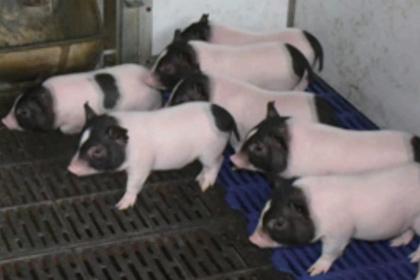 Созданы свиньи без сала