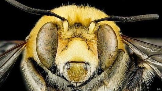 150410114811_bees_closeup_624x351_spl