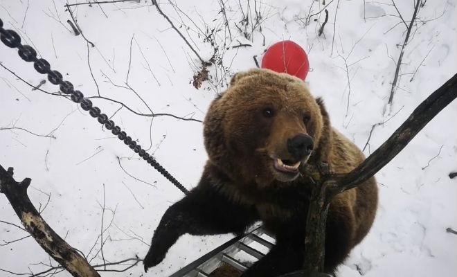 Прятаться от медведя на дереве плохая идея. Смотрим, как он залезает на любой ствол выживание,дерево,лес,медведь,Пространство