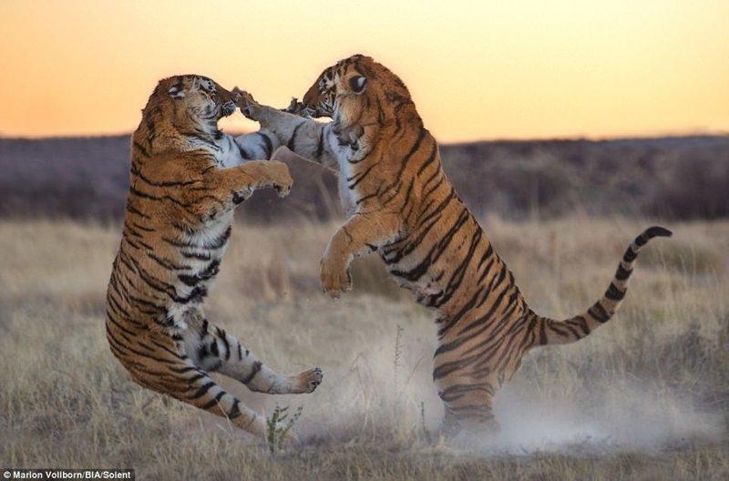 Как дерутся большие кошки: впечатляющая битва двух тигриц за территорию
