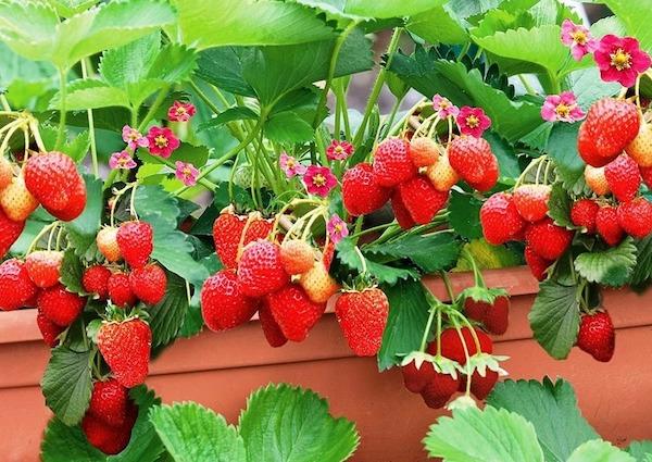 Земляника просит о помощи: советы начинающим садоводам