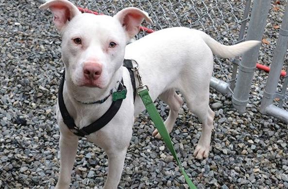 Глухой пес служит в полиции штата Вашингтон