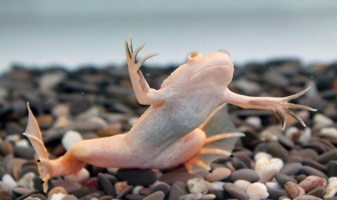 Маленький биореактор дал лягушкам способность отращивать утерянные конечности